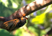 America threatens invasion of mysterious periodic cicadas