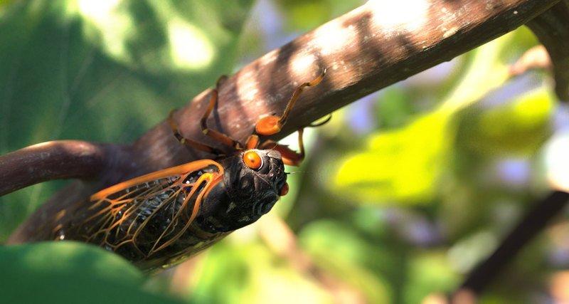 America threatens invasion of mysterious periodic cicadas