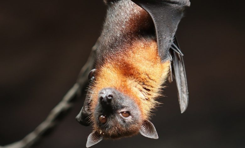 Another virus found in bats he is a relative of COVID