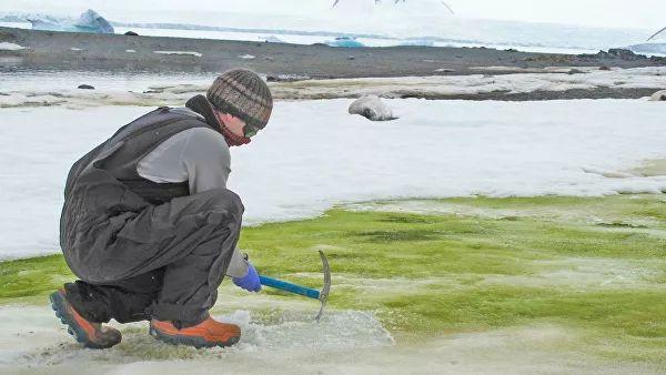 Antarctica has become more unusual green snow