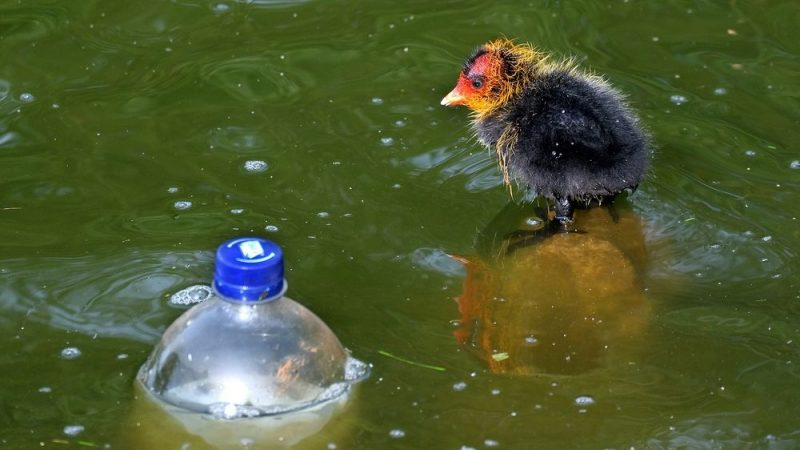 Birds swallow hundreds of plastic particles
