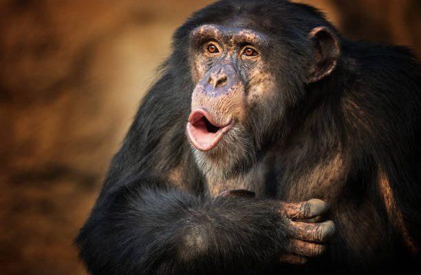 Chimpanzees smack lips in rhythms strangely similar to human language