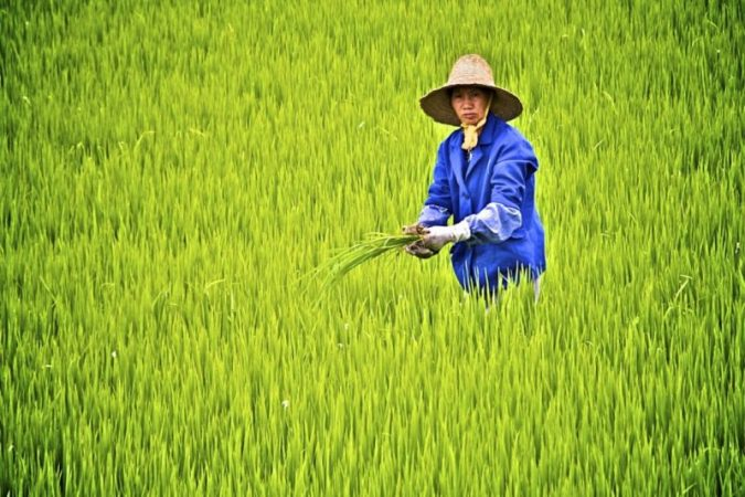China rice