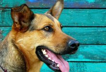 Coronavirus was contagious for dogs