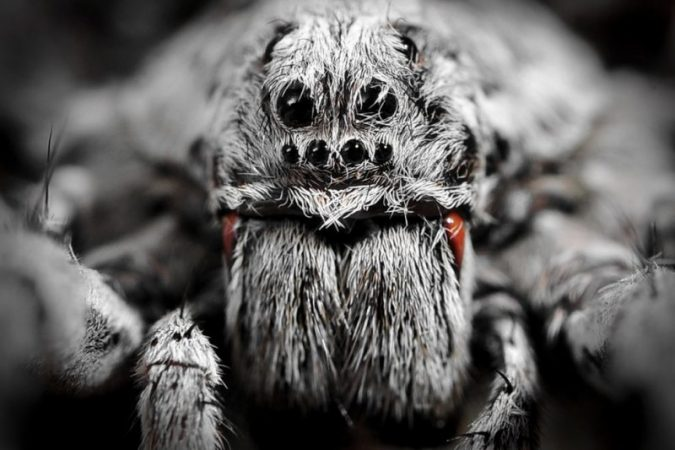Due to global warming wolf spiders in the Arctic began to eat their children