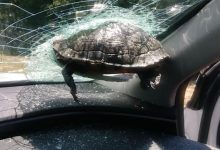 Flying turtle broke through the windshield of a car