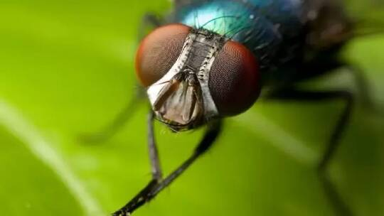Global health resolves the debate over the transfer of corona flies to humans