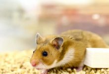 Hamster experiments show how effective masks prevent the spread of coronavirus