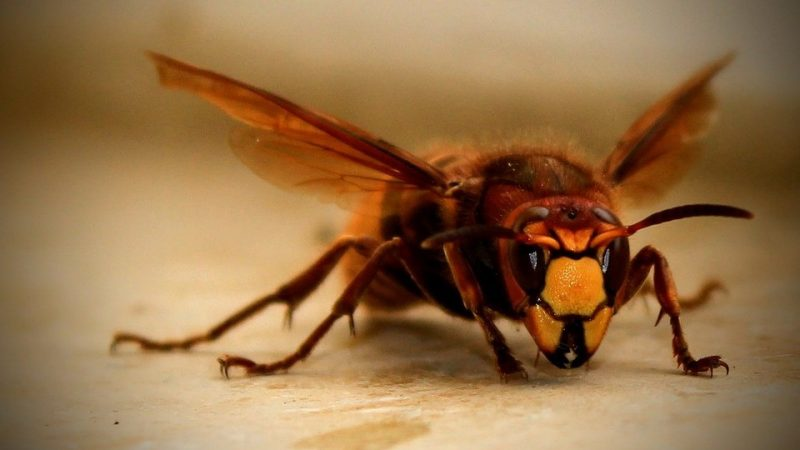 Huge hornet killers flew from Asia to the US