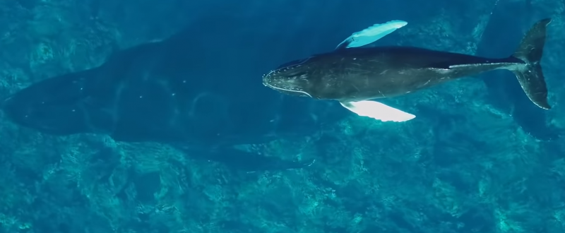 Humpback whales feed their young with milk