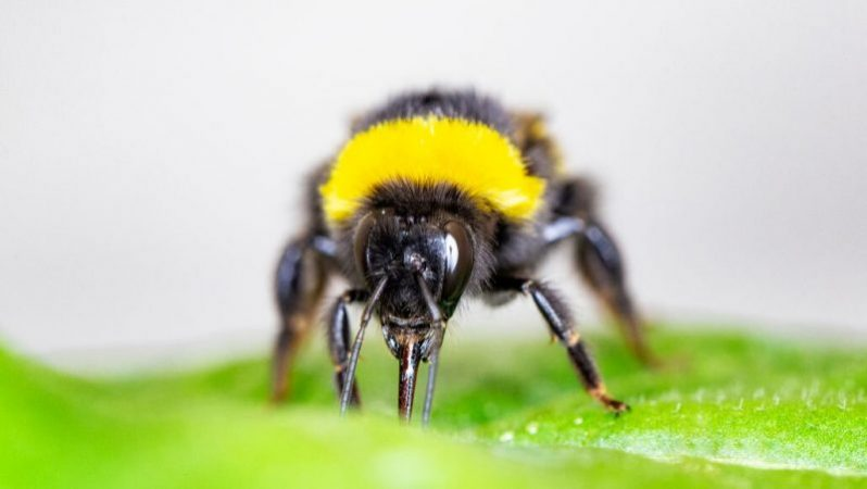 Hungry bumblebees bite leaves to stimulate flowering