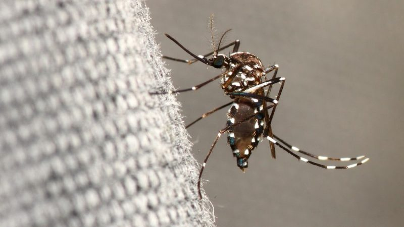 Ibiza filled with dangerous tiger mosquitoes