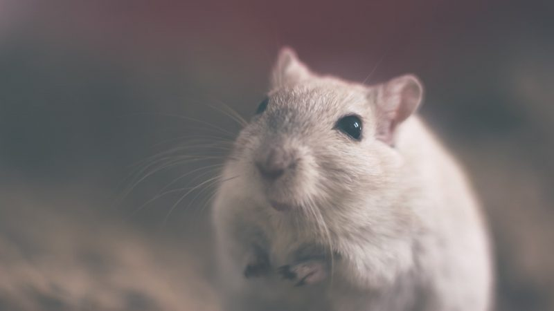 In China rats began to infect humans with hepatitis