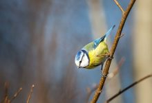 In Germany birds are massively killed is there a threat to people
