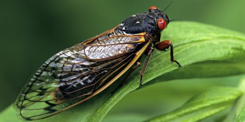 In the US preparing for the invasion of cicadas