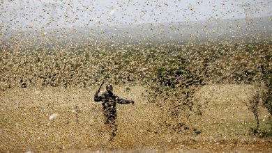Locusts attack cities in India insects eat literally everything