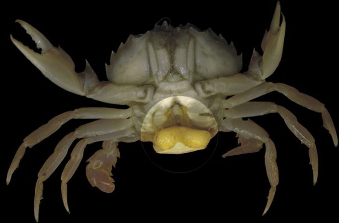 Male crab turns into female due to parasitic sacculin cancer