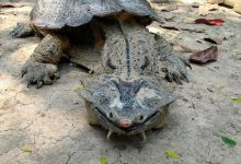 New species of the most bizarre tortoise in the world