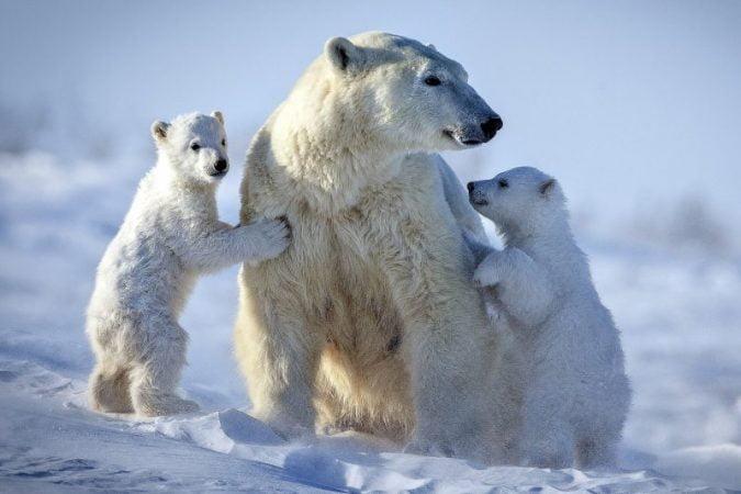 Polar bear caught up and ate a teddy bear