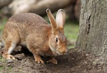 Rabbits die en masse in the US