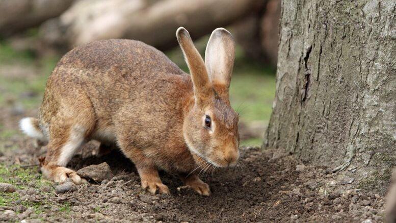 Rabbits die en masse in the US