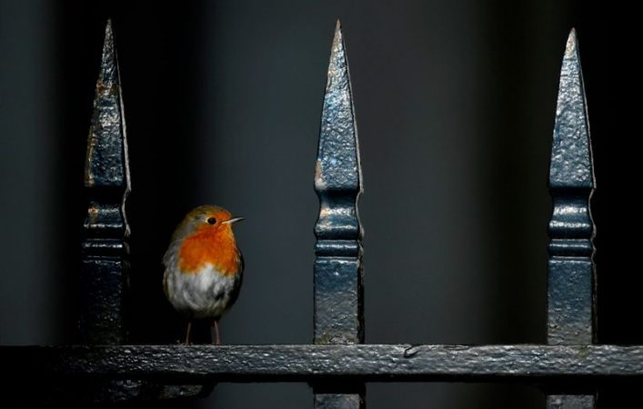 Robin on a fence at Downing Street in London