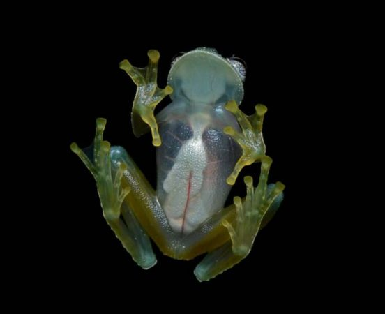 Scientists explained why glass frogs have translucent skin