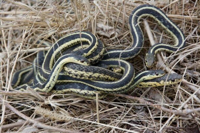 Scientists have confirmed the ability of snakes to form stable social bonds
