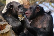 Scientists have discovered the rudiments of speech in chimpanzees