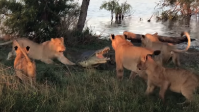 Photo of Surrounded crocodile fights off five lionesses (VIDEO)