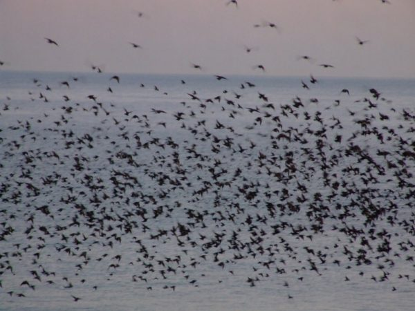 The number of birds can be calculated by their cries