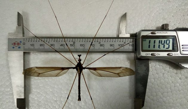 The worlds largest mosquito caught in China