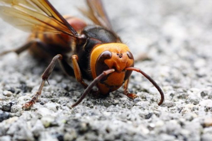 US fear the invasion of hornet killers
