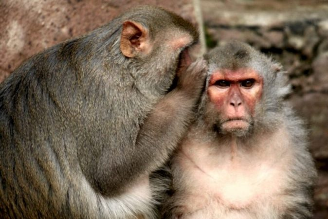 Ultrasound allowed to control the behavior of macaques