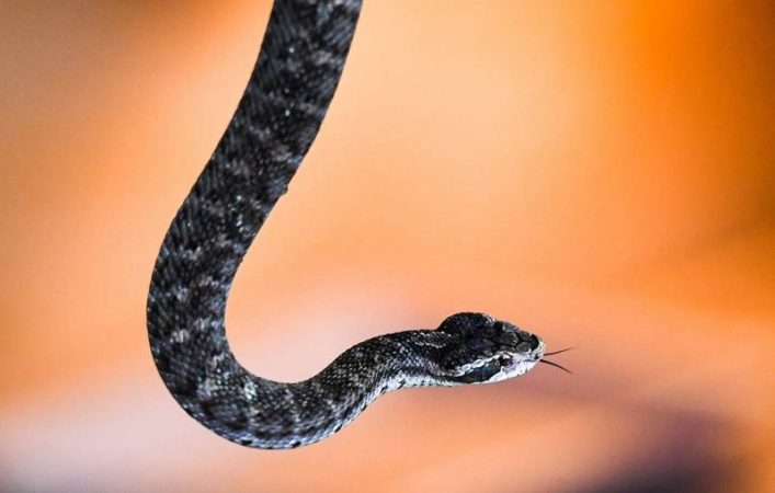 Vipers have found new features in coloring