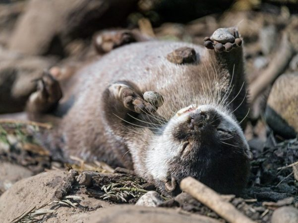 Why do otters juggle pebbles