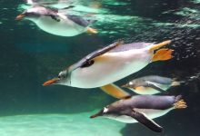 Why do penguins swim so fast