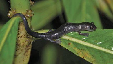 new species of mushroom speaking salamander