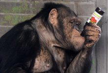 what can we learn from a drunken monkey