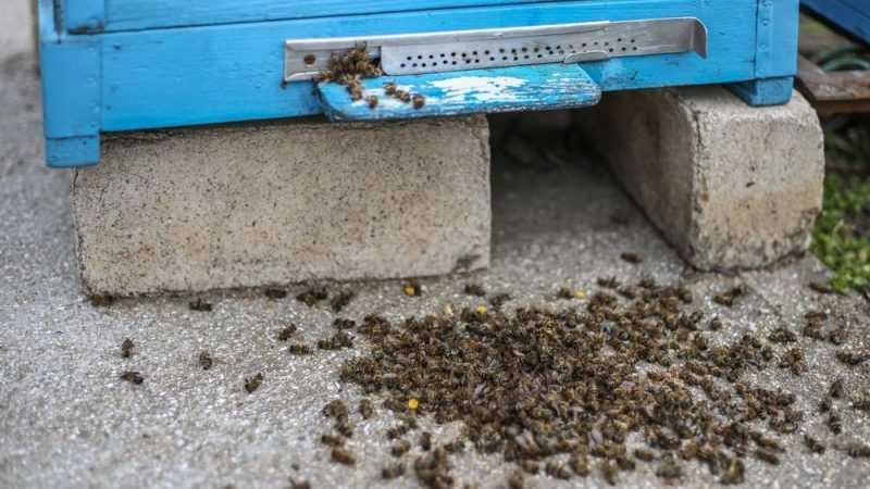 Bees are massively killed around the world