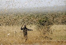 Hunger is inevitable swarms of locusts destroy crops across Asia