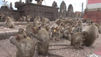 Photo of Hungry monkeys captured the Thai city