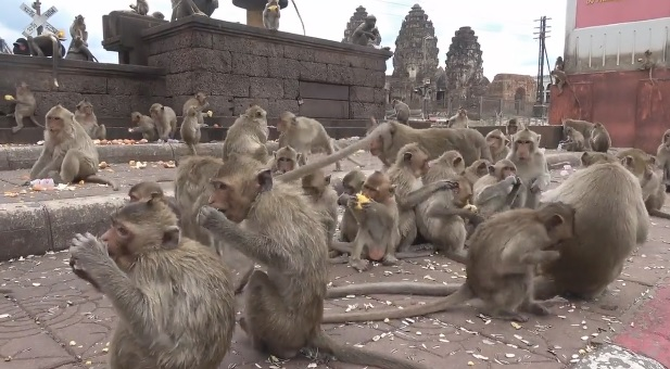 Hungry monkeys captured the Thai city