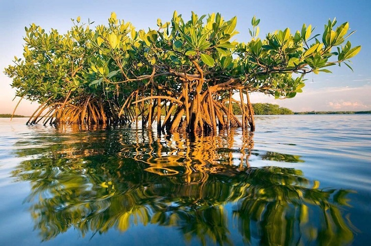 Mangroves will not survive sea level rise