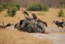 More than a hundred elephants strangely perished in Botswana