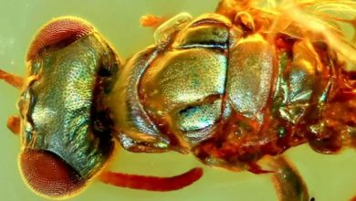 Amazing fossils were found in amber preserving the color 3