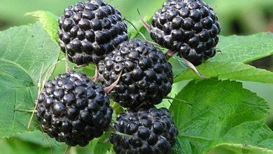 Photo of Black raspberries can cure allergies