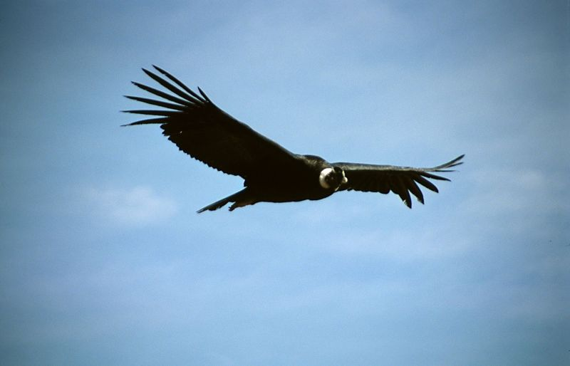 Condor flew 160 km without a single swing