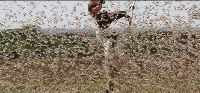 East Africa faces huge concentrations of locusts