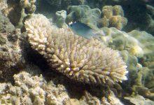 Genetic model predicts massive coral mortality
